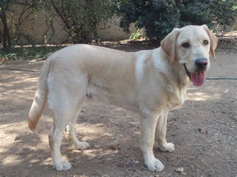 how much will my puppy weigh how much does your puppy weigh page 61 the labrador forum