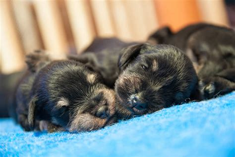 can you touch newborn puppies newborn puppy www pixshark images galleries with a bite
