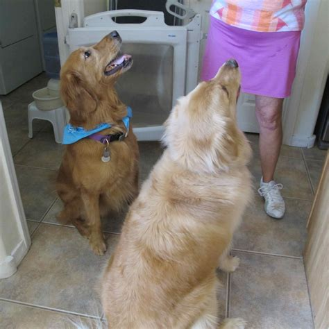 golden retriever rescue oklahoma stoli southern arizona golden retriever rescue