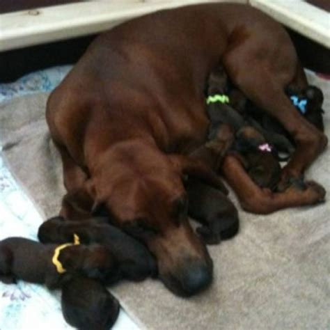 redbone coonhound puppies redbone coonhound puppies for sale breeds picture