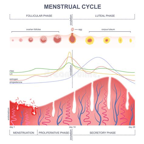 Scheme Of The Menstrual Cycle Stock Vector - Illustration ... Female Period Cycle