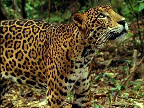 what do jaguars eat in the tropical rainforest animals jaguars eat images