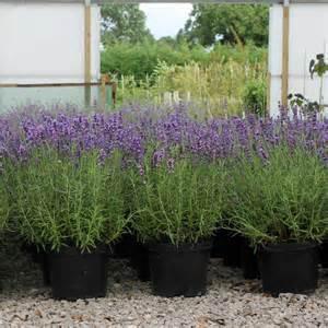 lavender hidcote hedge plants lavandula angustifolia