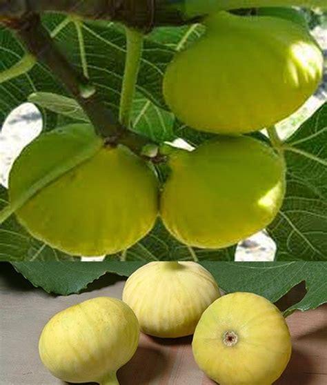 Bibit Tin Tena jual bibit pohon tin 087877331011 jenis pohon tin terbaik