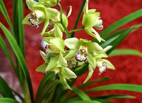 orchidea in vaso cura orchidea cura orchidee come curare l orchidea