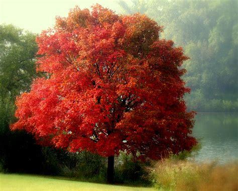 Home Decor Canada Online autumn maple tree photograph by rosanne jordan
