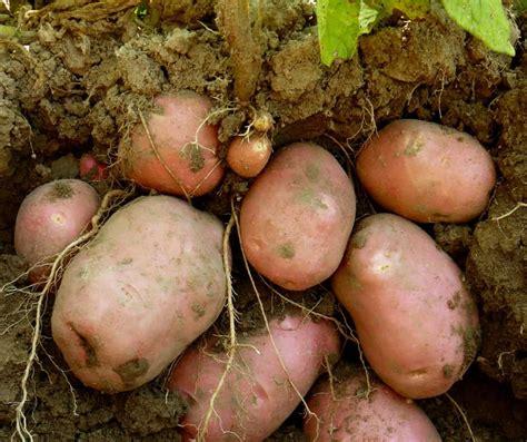 how to plant a backyard garden how to grow your own potatoes backyard garden lover gogo papa