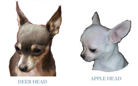 applehead chihuahua puppies deer and apple chihuahuas breeds picture