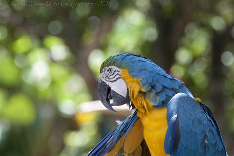 blue and gold macaw by earthemerald on deviantart