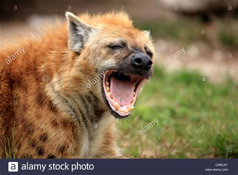 hyena cat or spotted hyena or laughing hyena crocuta crocuta yawning stock photo royalty