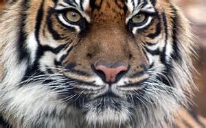Zebra Fur Rug Bengal Tiger Face Hd Desktop Wallpaper Widescreen High