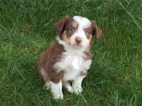 australian shepherd puppies for sale in tn view ad miniature australian shepherd puppy for sale tennessee birchwood