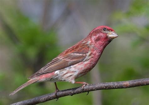 purple finch images purple finch carpodacus purpureus
