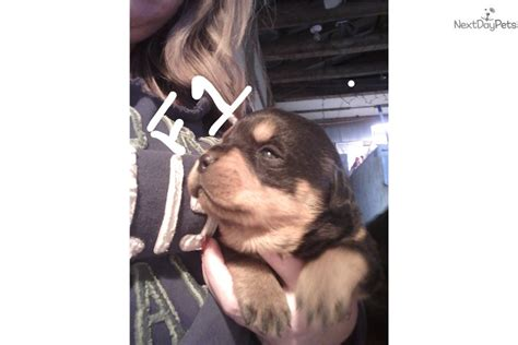 rottweiler puppies for sale kansas city halle rottweiler puppy for sale near kansas city missouri 4bb94054 ae71