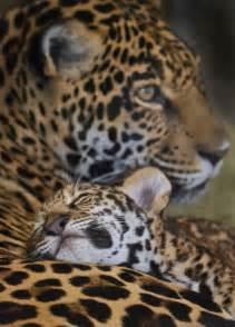 Jaguar Information 25 Best Ideas About Baby Jaguar On Baby
