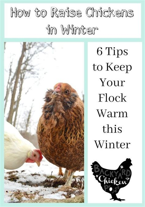 Backyard Chickens In Winter 1000 Images About Homesteading Chickens And Coops On