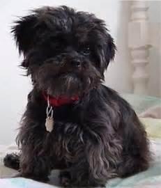 affenpinscher mix puppies for sale affenpinscher puppies breeders affenpinschers