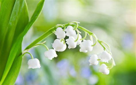 il mughetto fiore mughetto convallaria majalis maclura pomifera bulbi