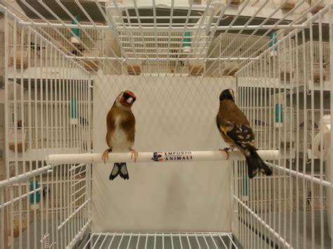 accoppiamento cardellini in gabbia emporio degli animali cardellino mayor