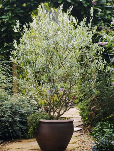 best 25 trees in pots ideas on pinterest potted trees