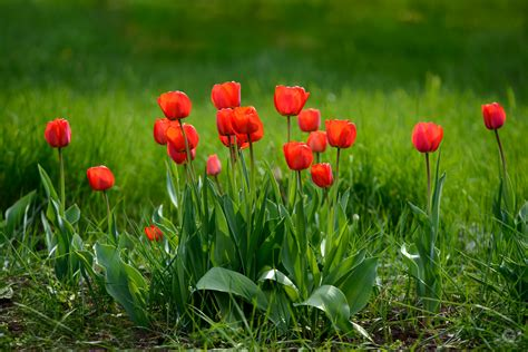 beautiful red tulips background high quality