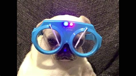 marshmallow white pug marshmallow white pug is singin in the global animal