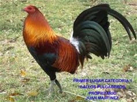gallos cenizos de pulgada 1000 images about gallos on pinterest google puerto