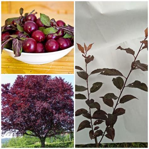 Cherry Kering 1kg tanaman purple leaf plum cherry plum jual tanaman hias