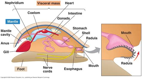 mollusk diagram am phys at of studyblue