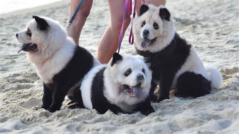chow chow panda puppies photos chow chow pups uncanny resemblance to panda breed komo