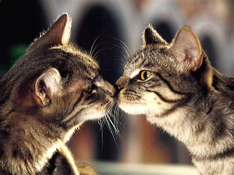 cat kiss wallpaper my wallpapers corner cat kissing moment wallpaper
