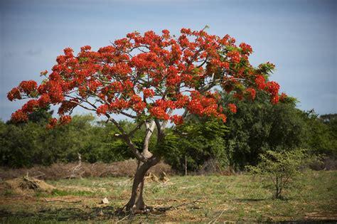 poinsiana tree decorations growing the royal poinciana