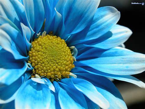 wallpaper flowers photos blue flower wallpaper cynthia selahblue cynti19