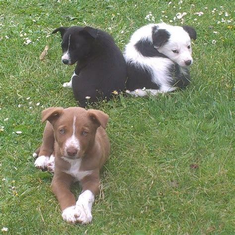 collie puppies for sale border collie puppies for sale brecon powys pets4homes