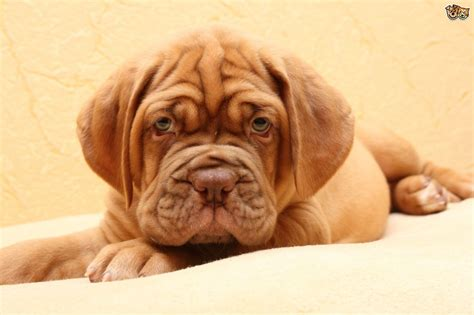 wrinkle dogs 8 adorable wrinkled breeds that will make you smile pets4homes