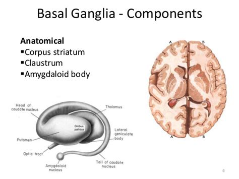 parts of the brain ganglia images how to guide and refrence