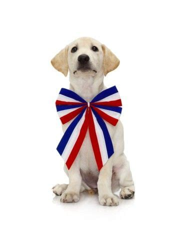 patriotic puppy lab puppy wearing patriotic bow tie lab puppies yellow lab puppies and labs