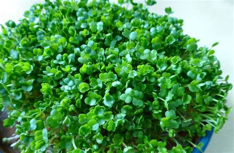 how to grow flax microgreens sprouting chia and other small seeds