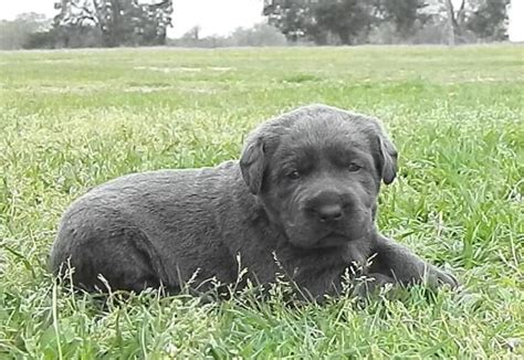 charcoal lab puppies for sale pin silver labrador retrievers for sale lab puppies charcoal on