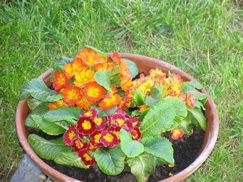 primule in vaso come curare la primula fiori in giardino come curare