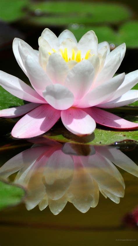 sfondi per desktop fiori 1440 x 2560 ninfee sfondi fiori immagini di sfondo