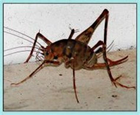 repel crickets indoors attack wave pest repeller bed bug - How To Kill Crickets In Basement