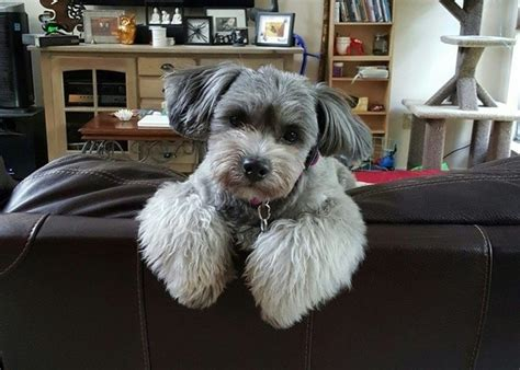 best shih tzu haircuts what are the best shih tzu haircuts for summer