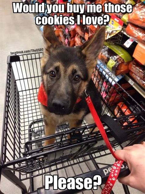 German Shepherd Memes - 34 german shepherd puppy pictures that will make your