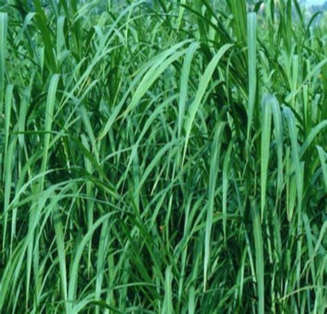 Tanaman Hias Rumput tanaman rumput gajah