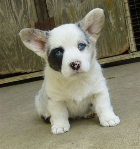 corgi puppies for sale in louisiana corgi puppies for sale california breeds picture