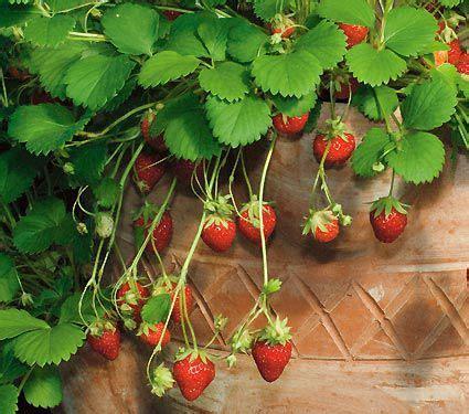 mara des bois strawberries white flower farm