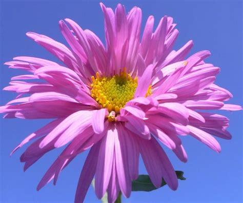 Pink Aster Flower Picture Jpg Hi Res 720p Hd Aster Flower Gallery
