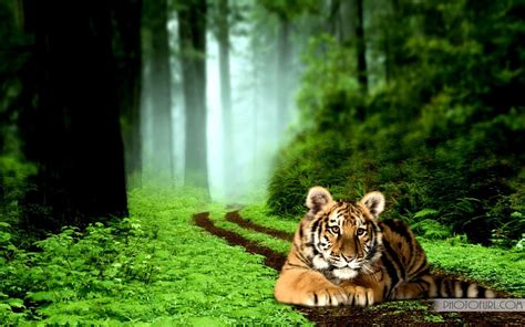 tiger backgrounds tiger backgrounds pictures wallpaper cave
