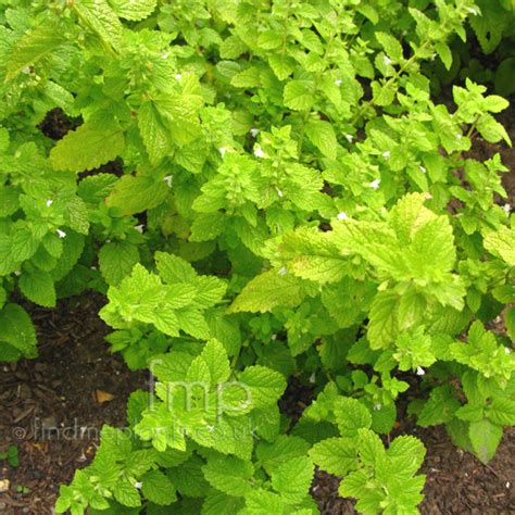 where to buy herb plants melissa officinalis lemon balm information pictures
